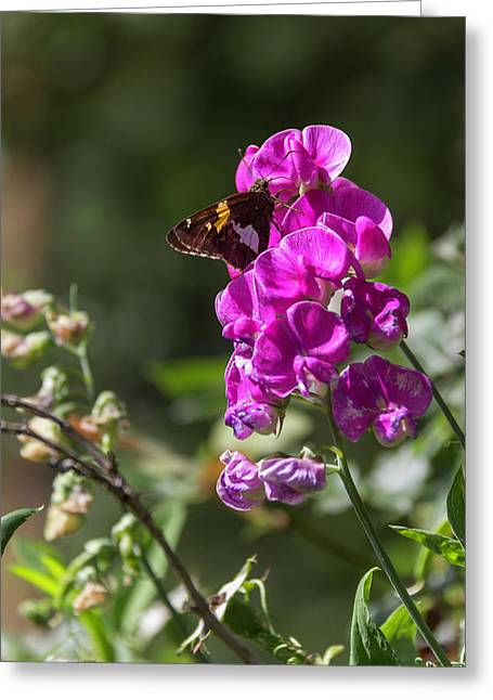 Silver Spotted Skipper And Everlasting Sweet Pea Greeting Card by Teresa Mucha