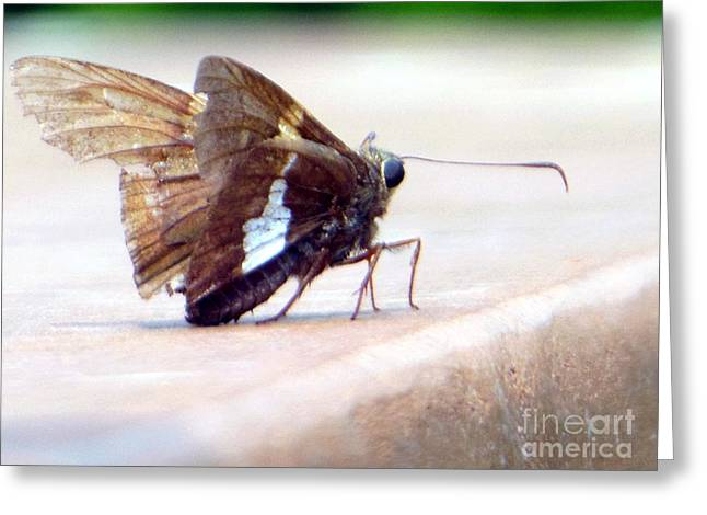 Silver Spotted Skipper Butterfly Greeting Card
