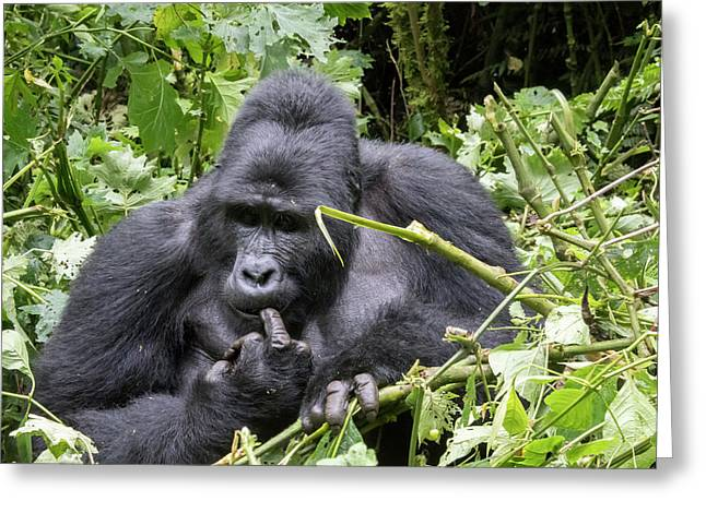 Silverback Gorilla Picking Teeth, Bwindi Impenetrable Forest Nat Greeting Card