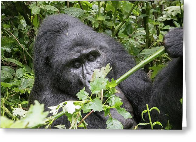 Silverback Mountain Gorilla, Bwindi Impenetrable Forest National Greeting Card