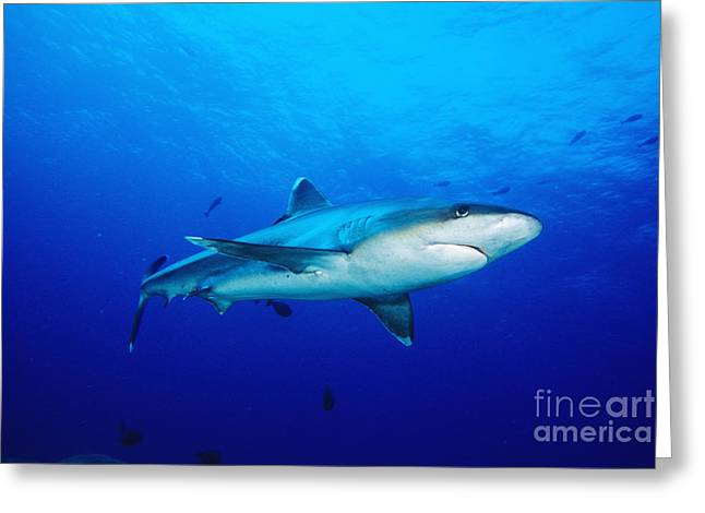 Silvertip Shark In Thailand Greeting Card by Dave Fleetham - Printscapes