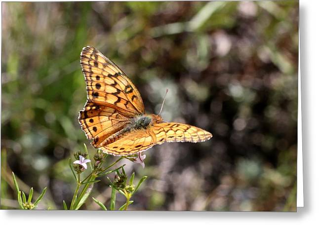 Silvery Checkerspot Butterfly On Wildflower 2 Greeting Card by Sheila Brown