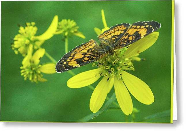Silvery Checkerspot Greeting Card