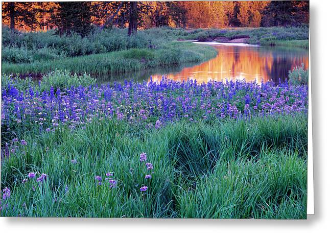 Silvery Lupine Greeting Card by Leland D Howard