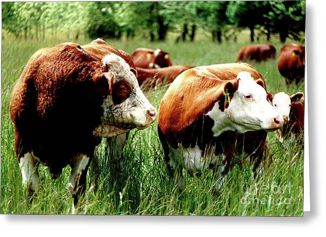 Simmental Bull And Hereford Cow Greeting Card