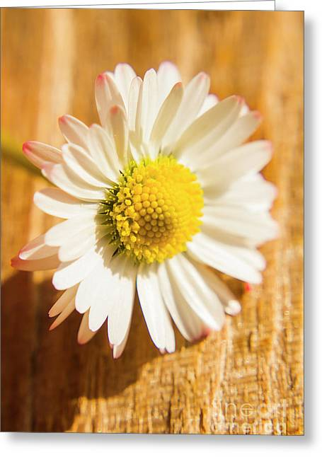 Simple Camomile  In Sunlight Greeting Card by Jorgo Photography - Wall Art Gallery