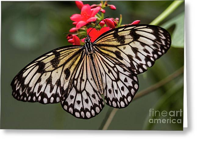 Simply A Paper Kite  Greeting Card