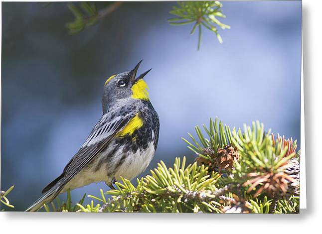 Singing Audubon's Warbler Greeting Card