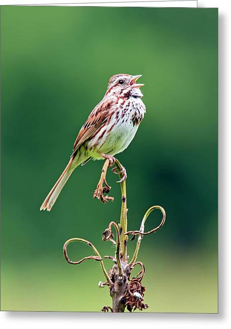 Singing Song Sparrow Greeting Card by Jennifer Nelson