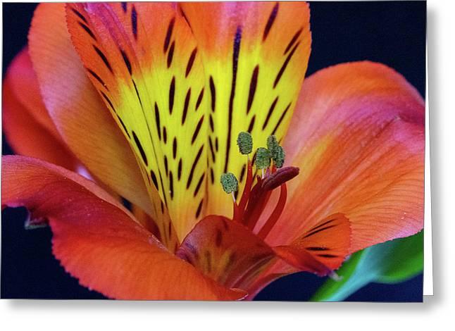 Single Alstroemeria Inca Flower-1 Greeting Card