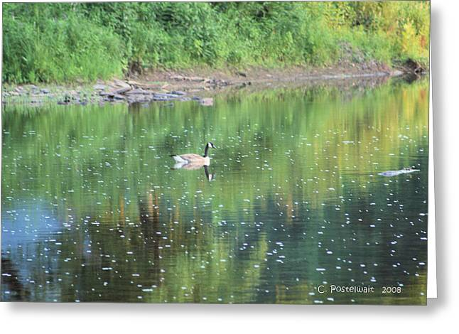 Single Canadian Goose Greeting Card by Carolyn Postelwait