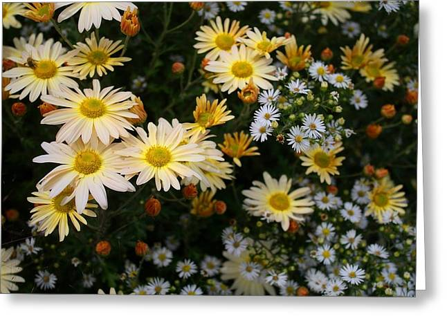 Greeting Card featuring the photograph Single Chrysanthemums by Kathryn Meyer