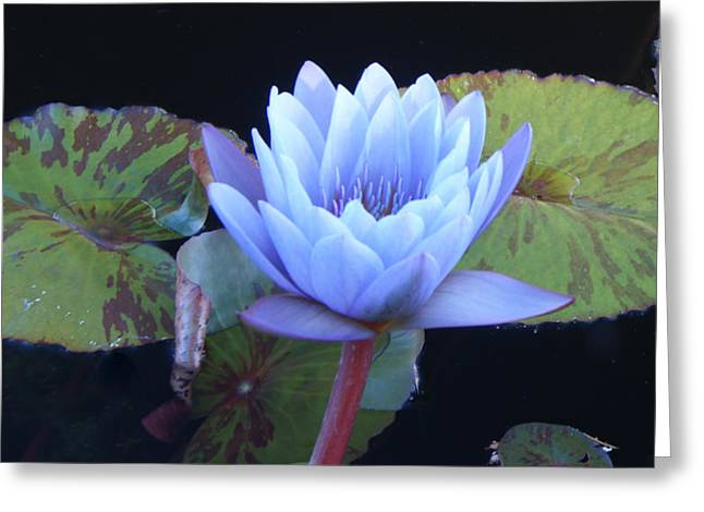 Single Lotus Blossom Greeting Card