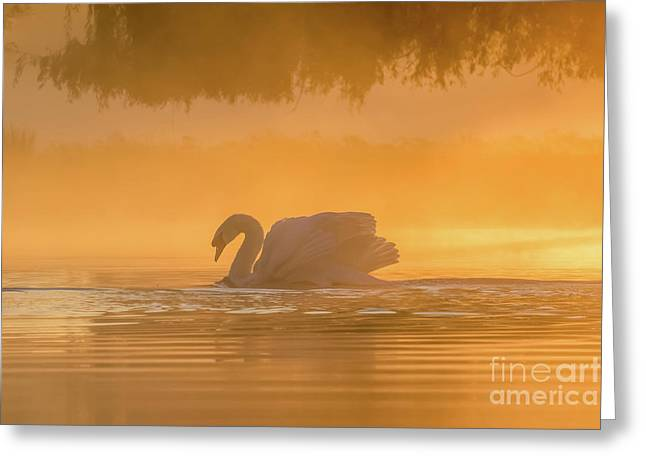Single Mute Swan - Cygnus Olor - On Orange Golden Pond At Sunrise Greeting Card