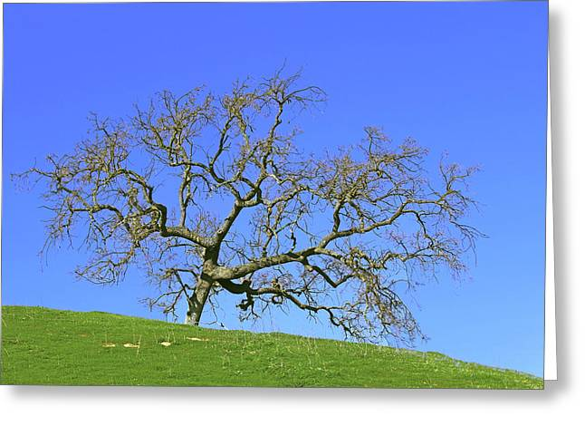 Single Oak Tree Greeting Card by Art Block Collections