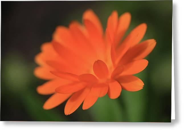 Single Orange Daisy Flower Greeting Card