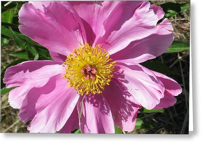 Single Pink Peony Greeting Card
