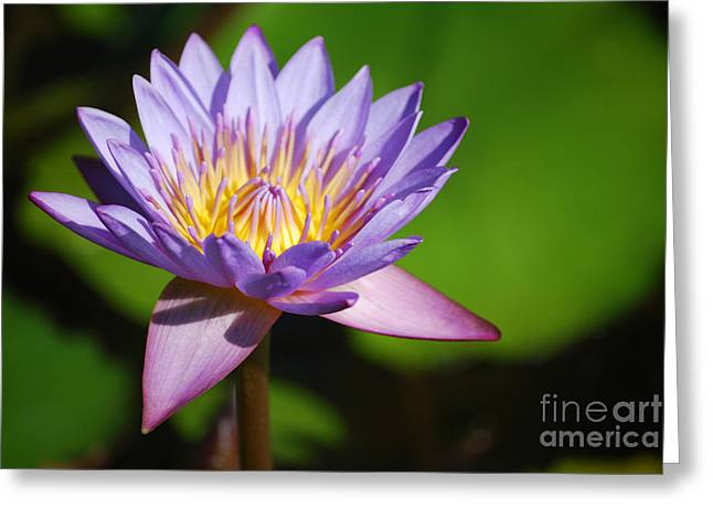 Single Purple Water Lily Number One Greeting Card by Heather Kirk
