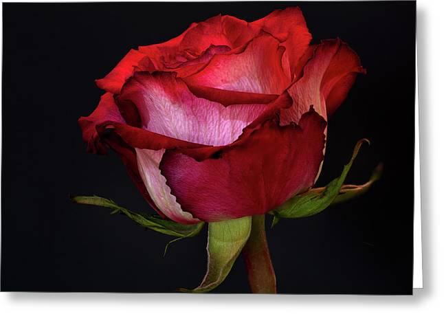 Single Rose Greeting Card