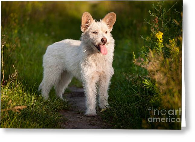 Single Small White Stray Dog In Meadow  Greeting Card