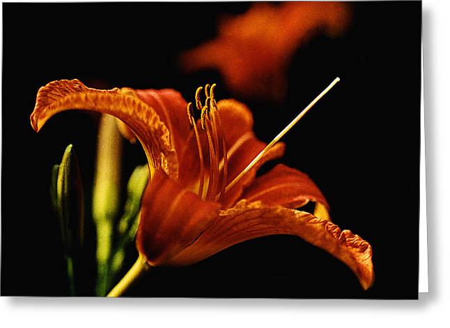 Single Tiger Lily Greeting Card by Roger Soule