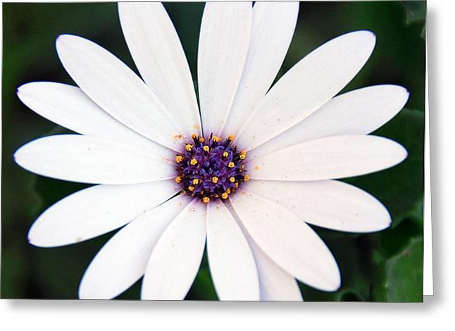 Single White Daisy Macro Greeting Card
