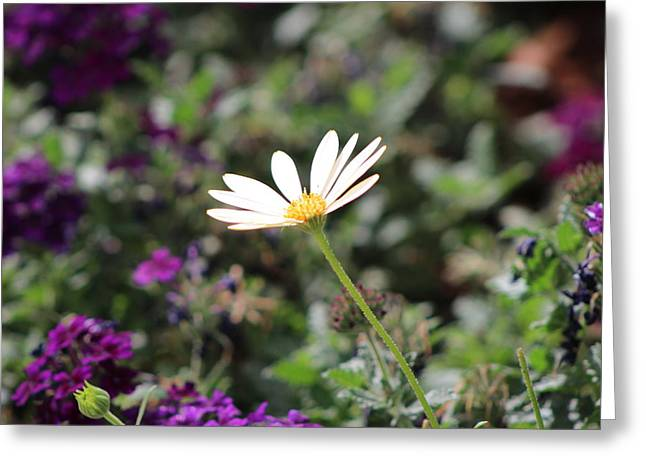Single White Daisy On Purple Greeting Card by Colleen Cornelius