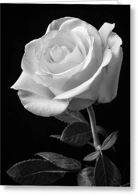 Single White Rose Black And White Greeting Card by Garry Gay