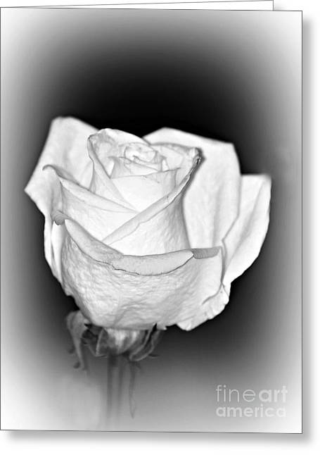 Single White Rose Bw Frost Greeting Card