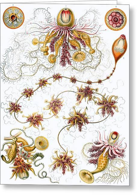 Kunstformen Der Natur Greeting Cards - Siphonophorae Greeting Card by Ernst Haeckel