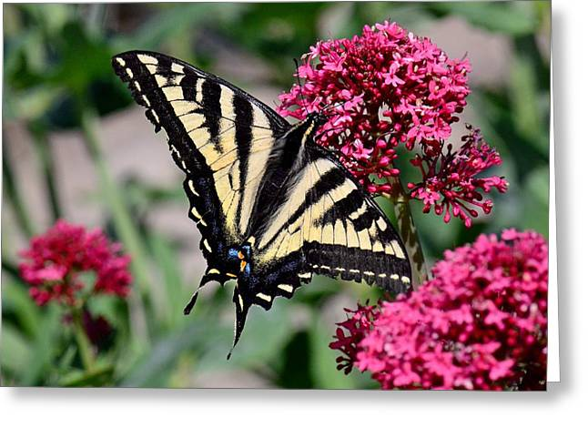Sippin On Nectar - Swallowtail Greeting Card