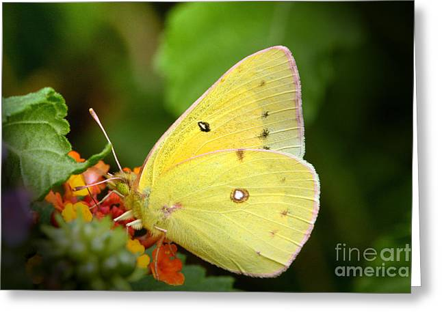 Sipping Nectar Greeting Card by Jeannie Burleson