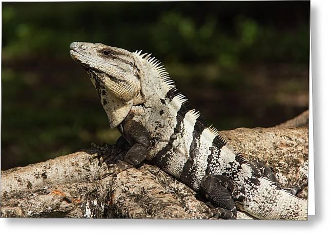 Sir Iguana Mexican Art By Kaylyn Franks Greeting Card