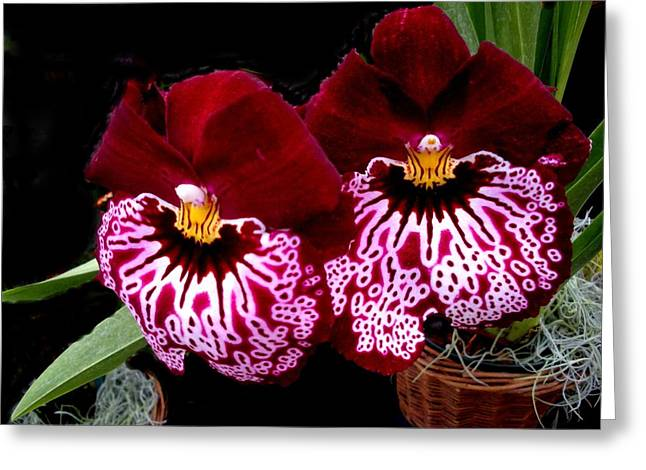 Sister Orchids Greeting Card by Jeanette Oberholtzer