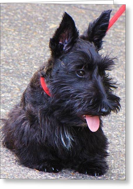 Scottish Terrier Puppy Greeting Cards - Sitting Pretty Greeting Card by Michele Penner