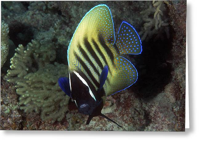 Six Banded Angelfish, Great Barrier Reef Greeting Card