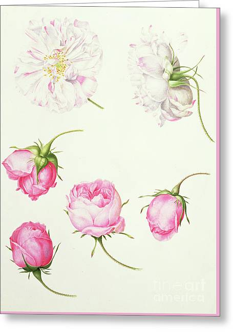 Six Heads Of Old Fashioned Roses Greeting Card by Nicolas Robert