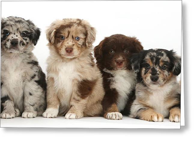 Six Miniature American Shepherd Puppies Greeting Card by Mark Taylor