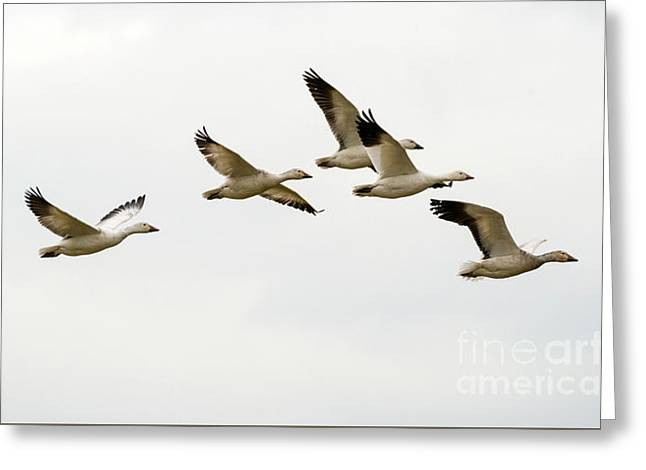 Six Snowgeese Flying Greeting Card by Mike Dawson