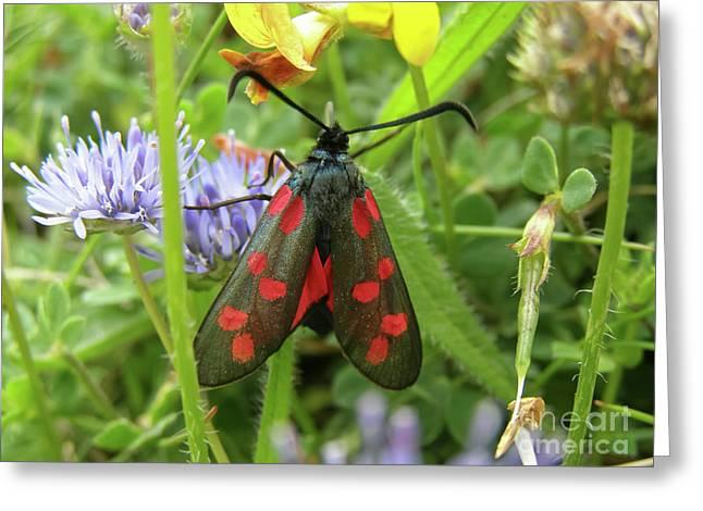 Six-spot Burnet Moth Greeting Card by Terri Waters