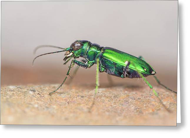 Six-spotted Tiger Beetle Greeting Card by Derek Thornton