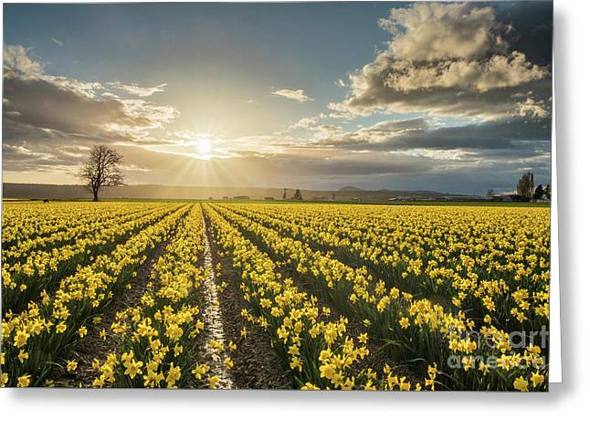 Greeting Card featuring the photograph Skagit Daffodils Bright Sunstar Dusk by Mike Reid