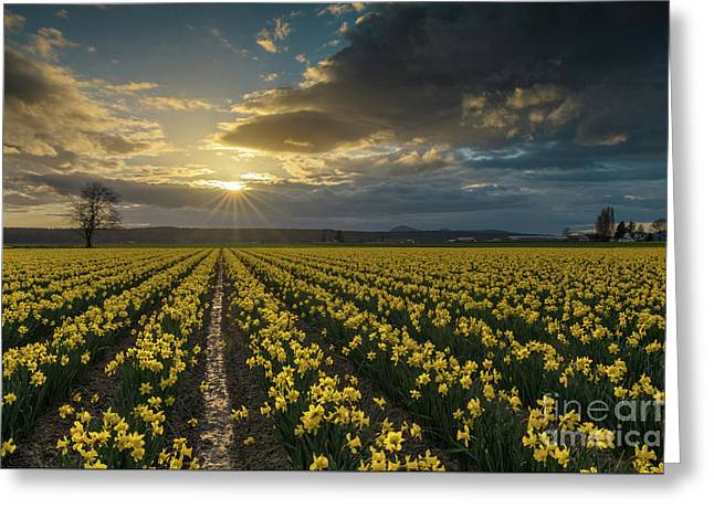 Greeting Card featuring the photograph Skagit Daffodils Golden Sunstar Evening by Mike Reid