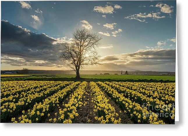Greeting Card featuring the photograph Skagit Daffodils Lone Tree  by Mike Reid