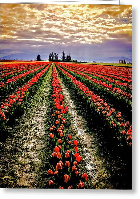 Skagit Tulips 2018 Greeting Card