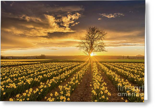Greeting Card featuring the photograph Skagit Valley Daffodils Sunset by Mike Reid