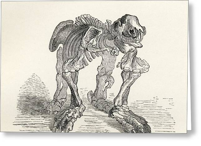 Skeleton Of The Megatherium From The Greeting Card by Vintage Design Pics