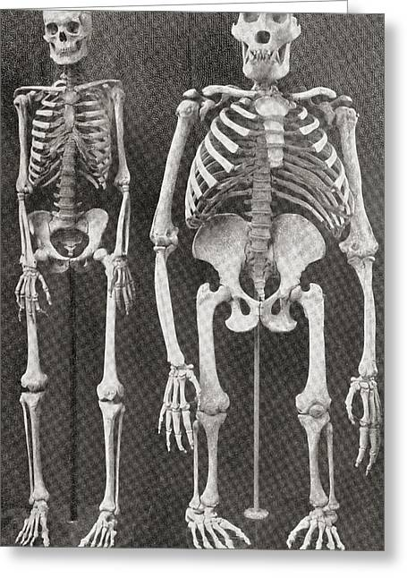 Skeletons Of Man, Left, And Gorilla Greeting Card