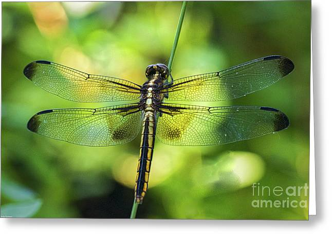 Skimmer Dragonfly Greeting Card