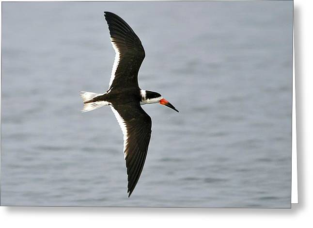 Skimmer In Flight Greeting Card by Al Powell Photography USA